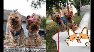 Йорки Маркус и Юстина.2018.Мои любимые собаки! Йоркширские терьеры.