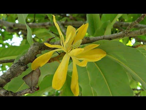 Beautiful Flowering Plant Swarna Champa Magnolia Champaca Care