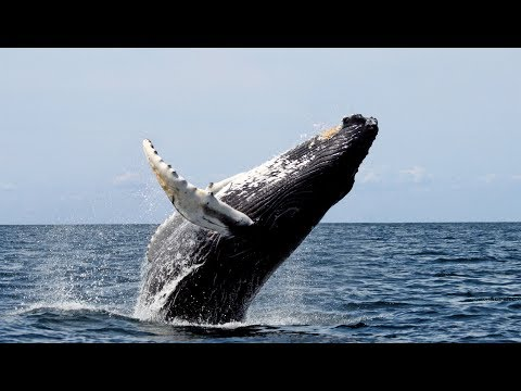 Humpback Whales seen from a small Zodiac