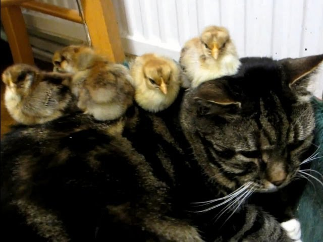 Cat Babysitting Chicks