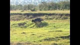 ライオンがバッファローを捕まえる瞬間をキャッチしました!!