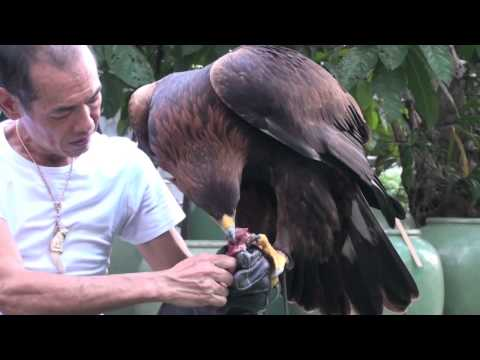 Golden Eagle Training, First Step After Maning