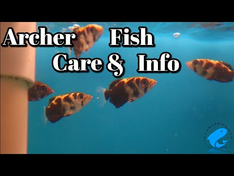 Archer Fish Care And Information -  How To Keep Archer Fish (Toxotes Jaculatrix)