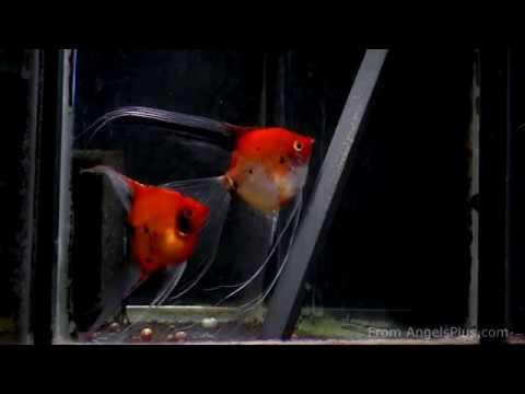 Koi Angelfish Breeding Pair  #2305