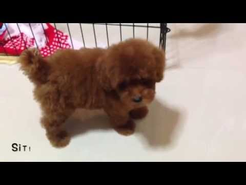 How many tricks can Truffles the Toy Poodle learn in 7 days?