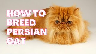 How to Breed Persian Cat ||  Tips From a Persian Cat Breeder || Persian Cat Breed Information