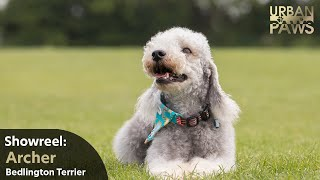 Dog Training: Archer (Bedlington Terrier)