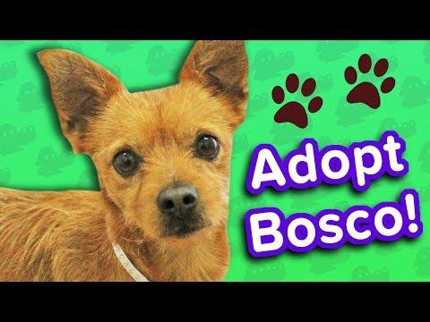 Adopt Bosco! // Chihuahua Mix // Adoptable Featurette