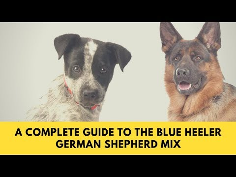 All About The Blue Heeler German Shepherd Mix: Facts & Information