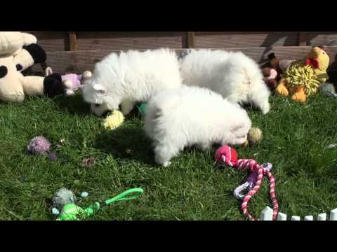 Little Rascals Uk breeders New litter of Pedigree Japanese Spitz