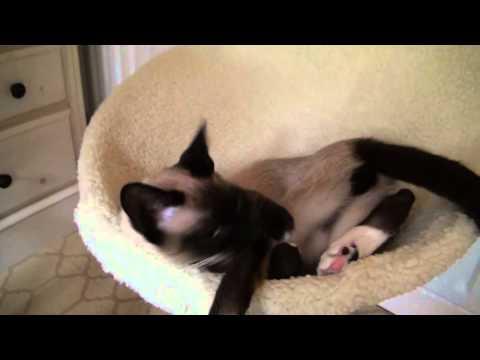 Snowshoe Cat Voices