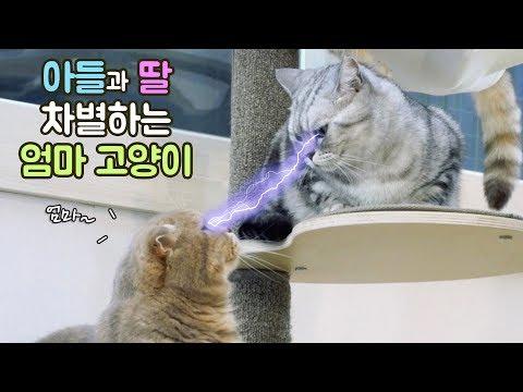 아들과 딸 차별하는 엄마 고양이 수리