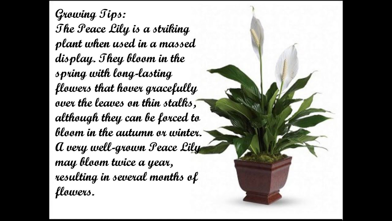 How to grow a peace lily youtube dhlflorist Gallery