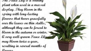 How To Grow A Peace Lily