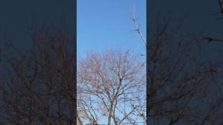 Video Chant du cardinal rouge, un matin de printemps. download MP3, 3GP, MP4, WEBM, AVI, FLV November 2017