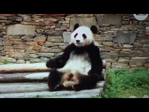 Wolong National Nature Reserve - Panda itch.