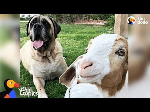 Massive Dog Adopts Special Needs Goat - SAMMY & CHANCE   The Dodo Odd Couples