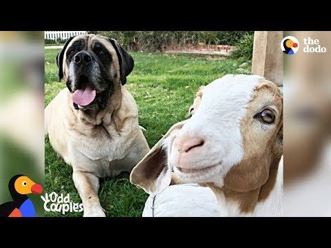 Massive Dog Adopts Special Needs Goat - SAMMY & CHANCE | The Dodo Odd Couples