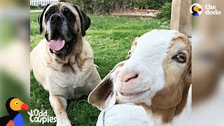 Massive Dog Adopts Special Needs Goat - SAMMY & CHANCE | The Dodo Odd Couples