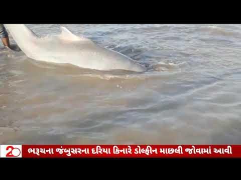Bharuch-Jambusar Sea Dolphin Fish || 20 News Channel