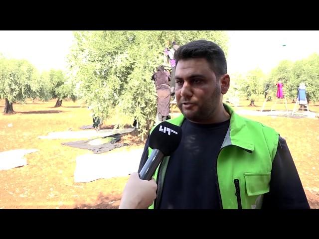 1000 مزارع يستفيدون من مشروع دعم موسم الزيتون في عفرين بريف حلب
