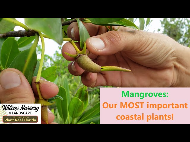 Mangroves: Our MOST important coastal plants!