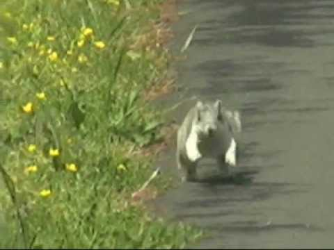 Endangered Delmarva Fox Squirrel at Blackwater NWR - April 29, 2012
