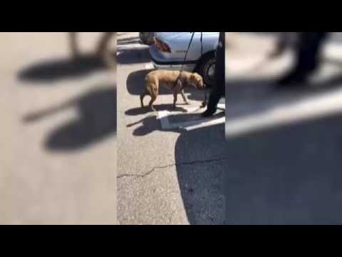 RAW VIDEO: Police rescue pit bull from hot car in Florida