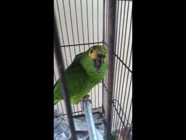 papagaio punheteiro