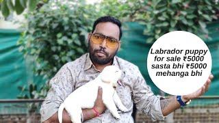 Labrador Puppy for Sale 5000 सस्ता भी और 5000 मेहंगा भी क्या लेना चाईए सस्ता या मेहंगा ?