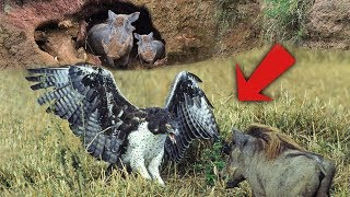 Eagle Catches & Fights Baby Warthog | Wild Animals Attacks - Wild Animal Fights Caught On Camera