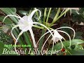 WHITE LILY PLANT | SPIDER LILY PLANT | EASY TO GROW PLANT | NEVER DIEING PLANT | WATER PLANTS