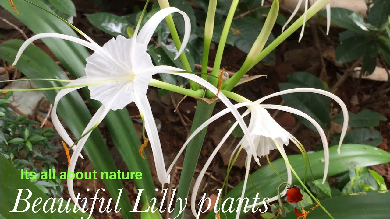 White Lily Plant Spider Lily Plant Easy To Grow Plant Never