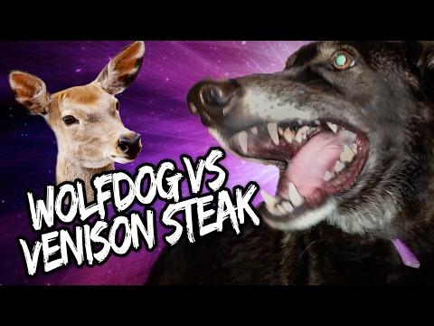 Wolfdog VS Venison Steak