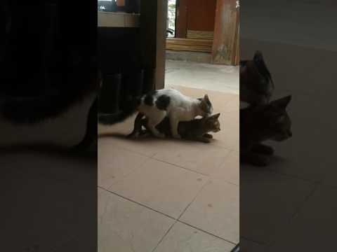 kucing ngentu