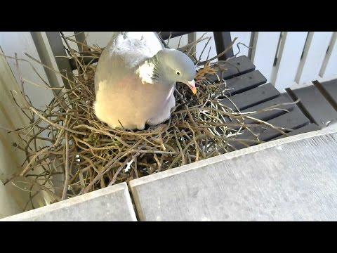 Common wood pigeon Live Stream