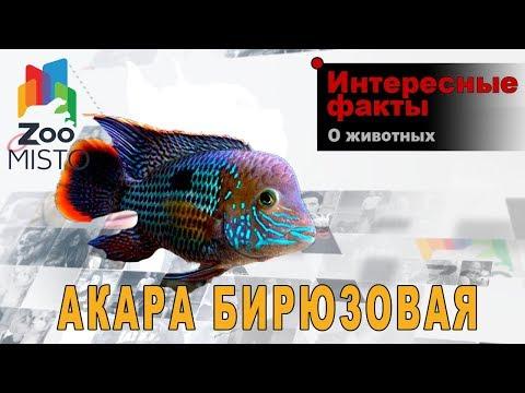 Акара бирюзовая - Интересные факты о семействе цихлид   Вид  Акара бирюзовая