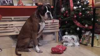 Bruno The Boxer Opens The Christmas Gifts