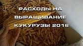 Купить семена кукурузы бондюэль - YouTube