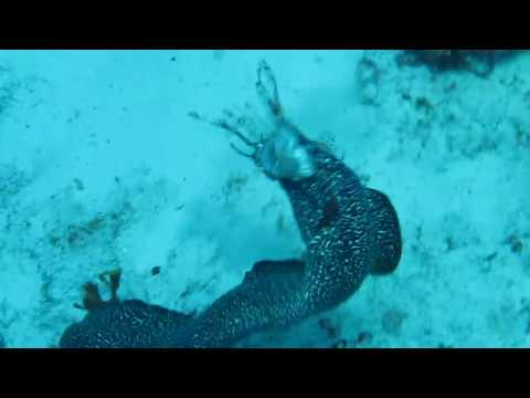 Spotted Moray Eel Eating Lionfish