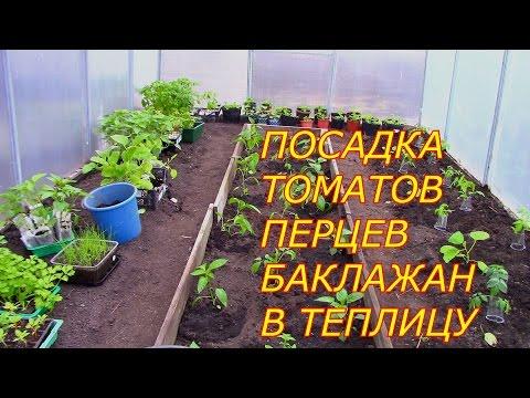 Вопрос: Можно ли высаживать рассаду перца и баклажан в ветреную погоду?