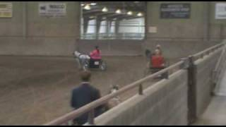 Elvis showing at AMA Miniature Horse Show Red Bluff, California