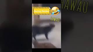 Kucing Hawau
