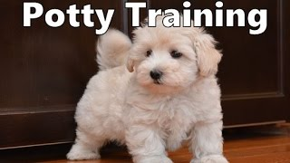 How To Potty Train A PooTon Puppy - Coton Poo House Training Tips - Housebreaking Poo Ton Puppies