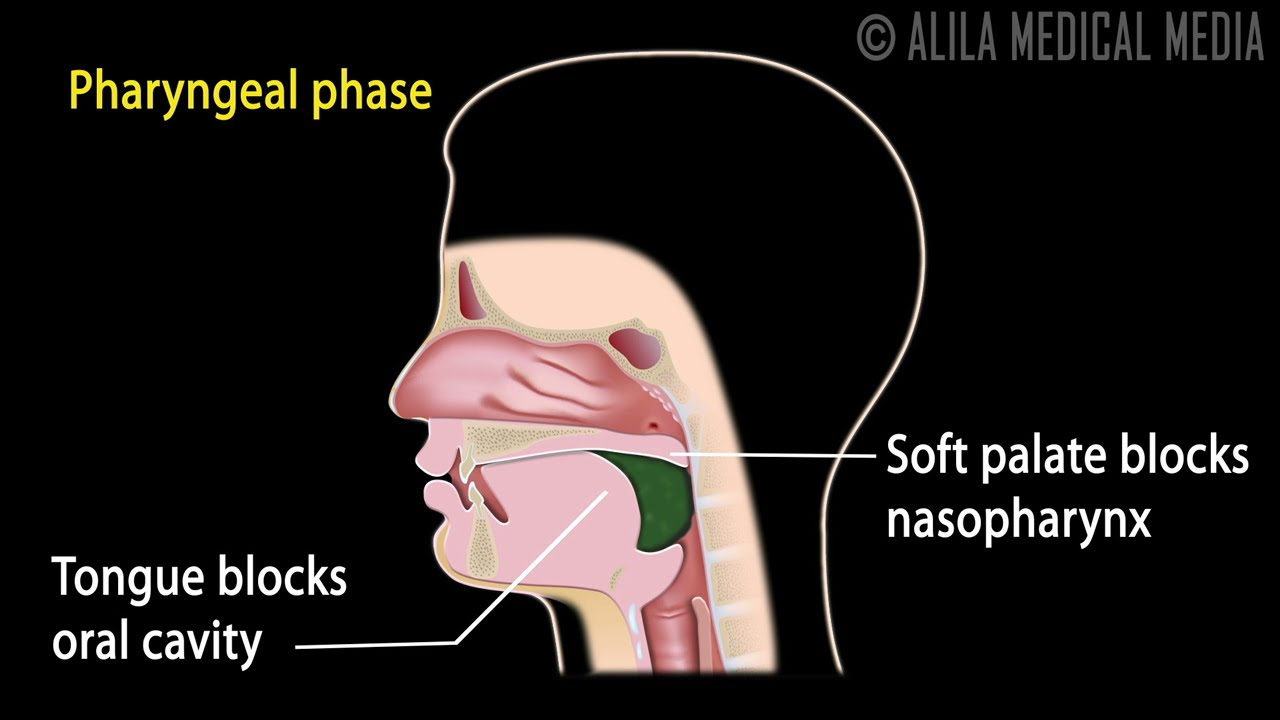 medium resolution of swallowing reflex phases and overview of neural control animation youtube