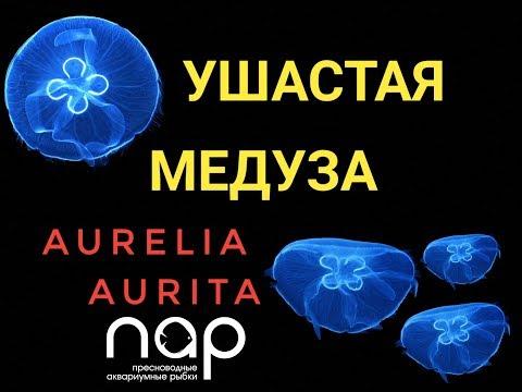 Медуза аурелия ушастая. Aurelia Aurita