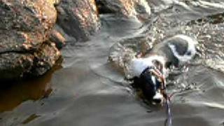 Field Bred Springer Puppy Swimming