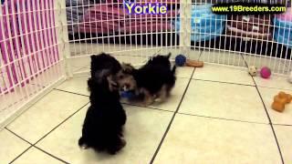 Yorkshire Terrier, Puppies, For, Sale, In, Wichita, Kansas, Ks, Pittsburg, Hays, Liberal, Prairie Vi