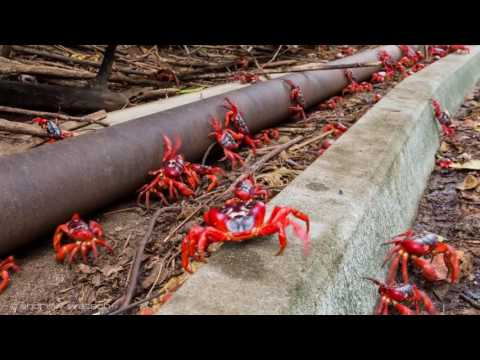 Millions of Red Crabs Migrate Off Christmas Island for Mating Season