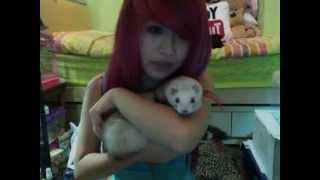 My new ferret Toffee